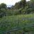 キウイの挿し木の実験してま~す。